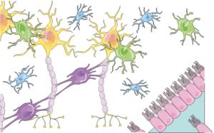 Organização celular de tecido nervoso.