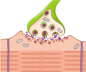 Sinapse neuromuscular.