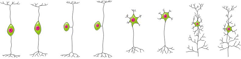 Diversidade de neurônios.