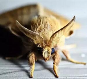 Cabeça de mariposa.