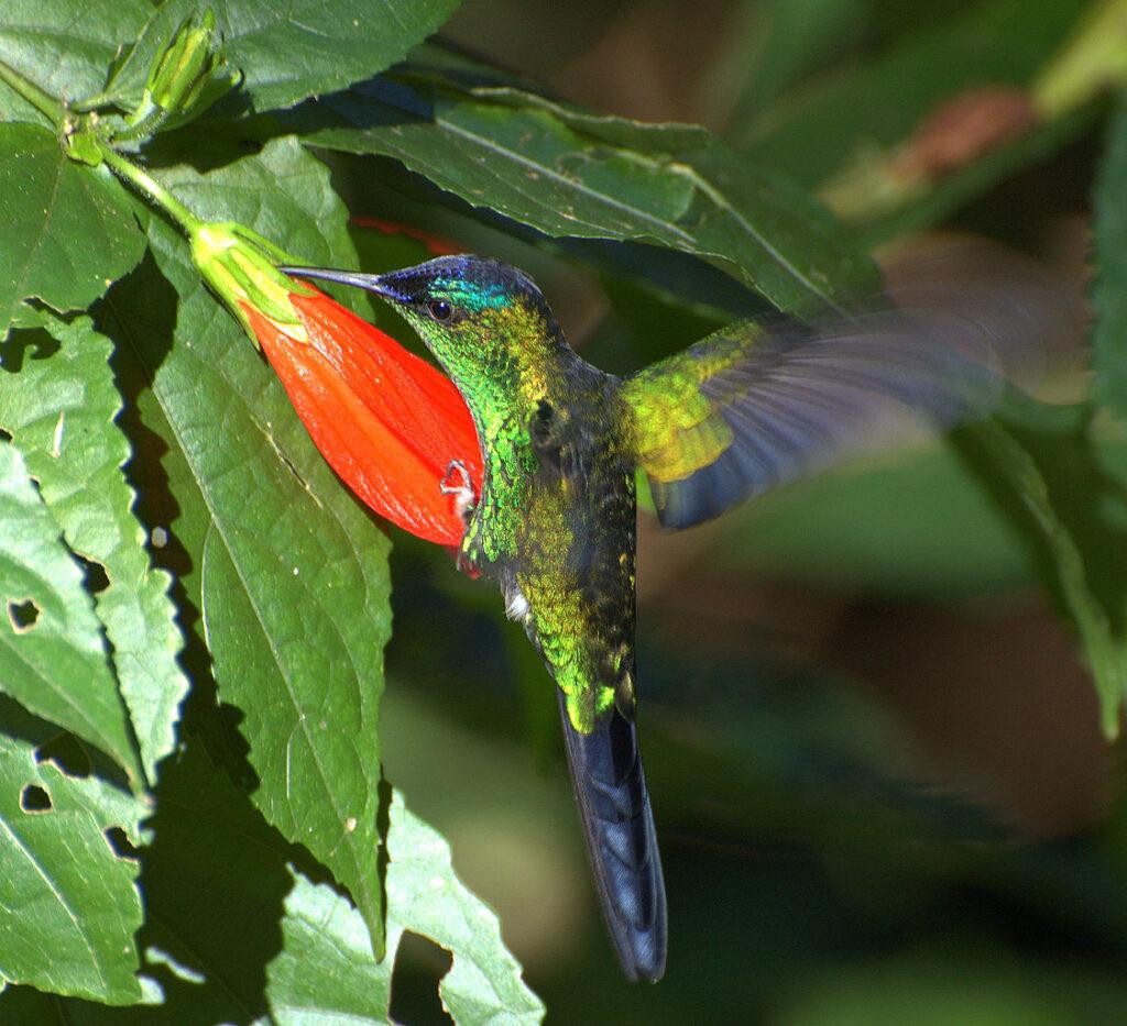 Thalurania_glaucopis. Thalu se alimenta enquanto encosta o corpo em outras partes da flor.