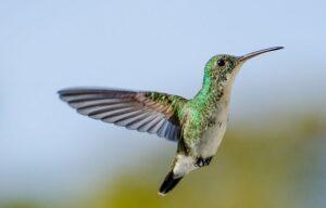 Beija-flor-de-barriga-branca_(Amazilia_leucogaster)_Ilhéus
