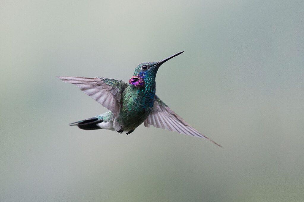 Beija flor de orelha violeta.