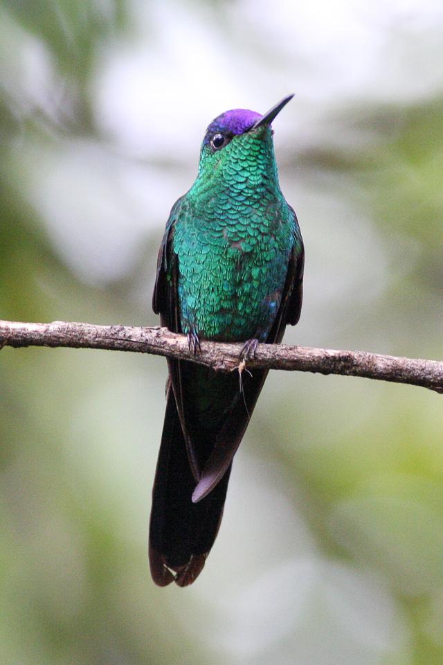 Beija-flor-de-fronte-violeta macho.