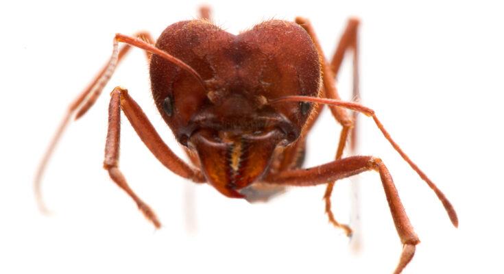 Vista frontal de formiga saúva, com destaque para a cabeça.